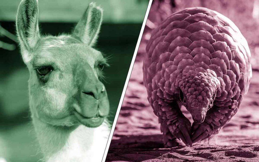 Drôle de bêtes : Lama contre Pangolin